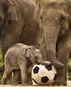 Elephants like Futbol