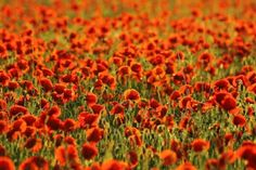 Lany, Red Flowers, Free Photos, Graphic Prints, Rock And Roll, Poppies, Tourism, Photo Cat, Design Templates