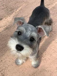 Schnauzer Grooming, Miniature Schnauzer Puppies, Schnauzer Puppy, Dog Grooming, Cute Dogs And Puppies, Baby Dogs, Doggies, Schnauzers, Puppy Haircut