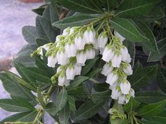 SOUTHERN LADY® PIERIS PPAF is an upright evergreen shrub that features white pendulous flowers in early spring.