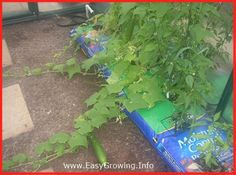 #EasyGrowing Cucumbers Taking Over.  Easy Growing Container Gardens