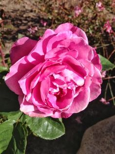 (Matthew 7:21)  one of my hybrid tea roses that has a wonderful rose fragrance