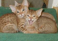 Ocicat kittens I Love Cats, Cool Cats, Pretty Cats, Pretty Kitty, Ocicat, American Shorthair, Nine Lives, Pets 3, Character Base