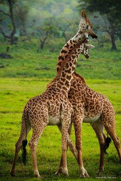 Africa | Necking giraffes | ©Radek Borovka