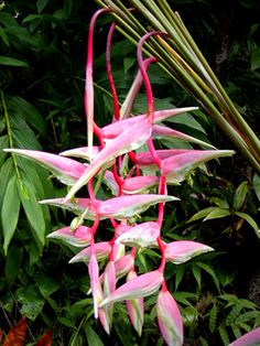 Sexy Pink Heliconia...definitely part of my garden aspirations