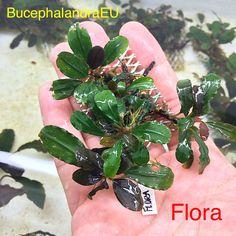 Bucephalandra Flora