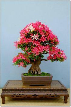 Bonsai - Azalea. Bonsai Azalea, Bonsai Garden, Bonsai Trees, Indoor Outdoor, Outdoor Plants, Ikebana, Beautiful Gardens, Terrarium, Really Cool Stuff