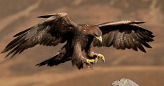 an eagle does not fight a snake on the ground its picks it up and changes Bird Of Prey Tattoo, Bird Attack, Animals And Pets, Cute Animals, Eagle Pictures, Anatomy Sketches, National Animal, Golden Eagle, Animal Tattoos