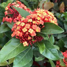 Available from Poppy's Home and Garden is Ixora Prince of Orange! Prince Of Orange, Garden Plants, Poppies, Home And Garden, Poppy, Poppy Flowers