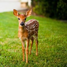 I met Bambi on my way to work today! - Imgur