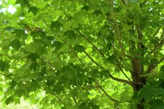 Silber-Ahorn • Acer saccharinum • Pflanzen & Blumen • 99Roots.com