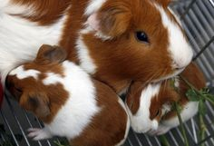 Guinea pig and babies, the babies are so tiny and cute!!!