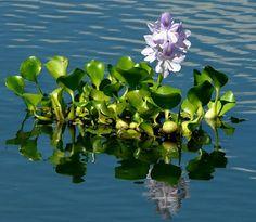 Aguapé (Eichhornia, Pontederiaceae)
