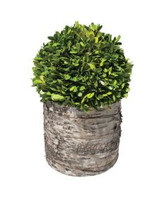Preserved Boxwood Topiary (Click through for an exclusive discount)