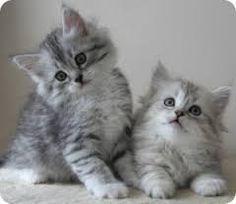gato siberiano - Buscar con Google