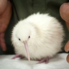 An albino kiwi.  Too cute.
