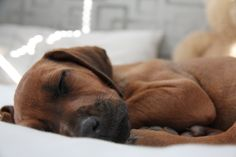 Nala the ridgeback puppy All Dogs, I Love Dogs, Dogs And Puppies, Cute Dogs, Happy Pictures, Dog Pictures, Lion Dog, Dog Items, Rhodesian Ridgeback