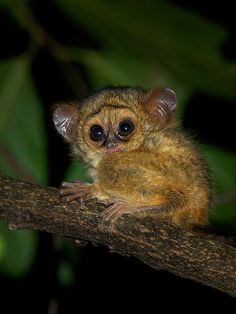 A baby spectral tarsier rests on a branch in Tangkoko National Park, Sulawesi, Indonesia. Photo by Sean Crane