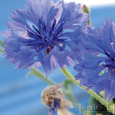 Bachelor Button-Blue