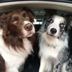 Beautiful Border Collies   http://ift.tt/29KVuDV via /r/dogpictures http://ift.tt/29pNpjt  #lovabledogsaroundtheworld