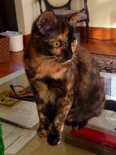Pearl. The tortoiseshell cat. #cats