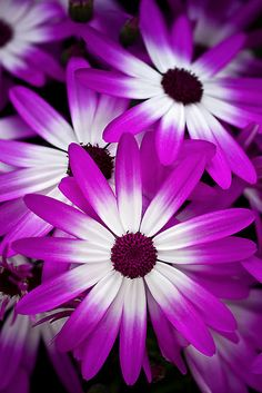 Cineraria (hybrid cineraria, daisy family) by Margaret Barry Amazing Flowers, Purple Flowers, Beautiful Flowers, Beautiful Places, Agaves, Daisy, Flowers Nature, Family Flowers, Garden Plants