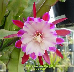 Epiphyllum hybrid 'Clown'