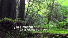 Día Internacional de los Bosques 2015 - El cambio climático está sometiendo a nuestro planeta a presiones no sostenibles. Los bosques y los árboles atrapan y almacenan carbono a medida que crecen permaneciendo sin cesar en primera línea en la lucha contra el cambio climático. Fuente: http://www.fao.org/forestry/internati... Duración 1:01