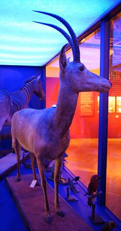 The bluebuck or blue antelope , sometimes called blaubok, is an extinct species of antelope, the first large African mammal to disappear in historic times. Europeans encountered the bluebuck in the 17th century, but it was already uncommon by then. European settlers hunted it avidly, despite its flesh being distasteful, while converting its habitat to agriculture. The bluebuck became extinct around 1800.