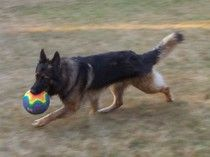 http://www.examiner.com/german-shepherd-in-akron/the-german-shepherd-dog-and-the-ad    The AD is a 12 mile endurance test where the dog runs along side a bicycle.  Find out more about this test and title by reading this article.