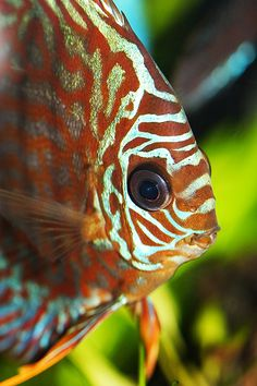 Leopard Discus | Flickr - Photo Sharing!