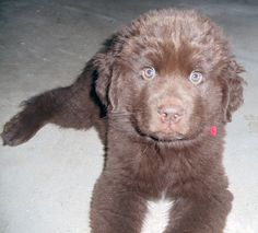 """Porter, """"deer in the headlights"""" haha NON drooling Chocolate Newfoundland stud puppy-"""