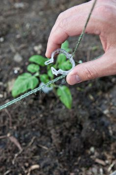 Did you know that what you plant in front of your tomatoes can help or hinder the tomatoes and the other plant? Practicing a bit of companion planting can increase yields . Here are a few things that you might consider planting in the shadow of your tomatoes:    Asparagus  Basil  Borage  Carrots  Cucumber  Onions and Chives  Spinach, Lettuce, Arugula  Nasturtium and Mari