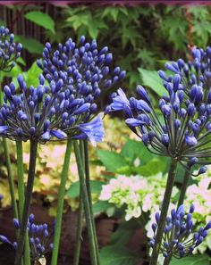 Agapanthus 'Black Buddhist'. Available from Peter Nyssen and Avondale Nurseries.