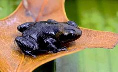 Black Is Beautiful: 27 Stunning Animals With Melanism – albino animal Rare Animals, Unique Animals, Animals And Pets, Strange Animals, Amphibians, Mammals, Reptiles, Beautiful Creatures, Animals Beautiful