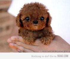 TINY Brown Poodle!!