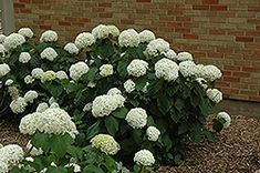 Click to view full-size photo of Annabelle Hydrangea (Hydrangea arborescens 'Annabelle') at Plant World