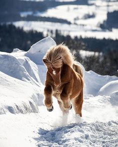 A striking horse gallops through the Bavarian winter Bavarian Forest Germany. Most Beautiful Horses, Pretty Horses, Horse Love, Animals Beautiful, Animals And Pets, Funny Animals, Cute Animals, Poney Miniature, Horse Galloping