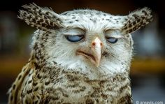 #owl #animals #hangover