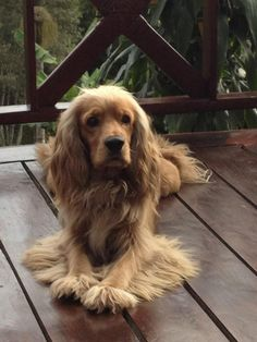 Outstanding information is offered on our site. Golden Cocker Spaniel, Cocker Spaniel Puppies, Spaniel Breeds, Dog Breeds, I Love Dogs, Cute Dogs, English Cocker, English Spaniel, Cockerspaniel