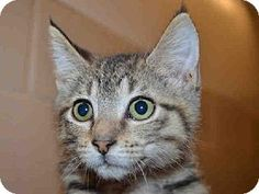 This cute and adorable little girl kitten is POSEY.  She is available for adoption at Contra Costa Animal Services in Martinez, CA.  Won't you consider giving a gorgeous little kitten a FOREVER loving home.  Please network & share so we may find POSEY a home.