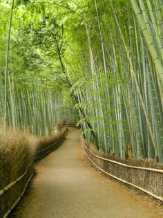 Bamboo Forest; Kyoto, Japan  One of the coolest places I've been..