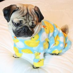 doug the pug - Google Search ----- P.S. click on the image to check out our Funny Pugs T-shirt today! All sizes available in different colors.