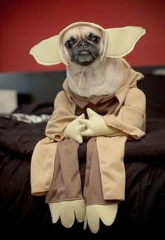 As if pugs aren't already the ugliest animals, let's add a yoda costume. Yoda Dog Costume, Pet Costumes, Pug Halloween Costumes, Chihuahua Costumes, Yoda Halloween, Halloween Clothes, Funny Costumes, Costume Ideas, Pug Love