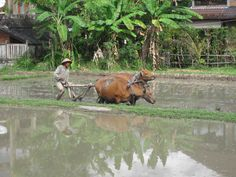 Plowing the rice field with a water buffalo. #bali #travel