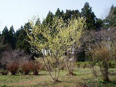 トサミズキ:落葉広葉樹。低〜 小高木。3〜5m。日向。