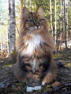 Awesome funny cats info are readily available on our website. Read more and you … - Katzen I Love Cats, Crazy Cats, Cool Cats, Pretty Cats, Beautiful Cats, Cute Kittens, Cats And Kittens, Norwegian Forest Kittens, Tier Fotos