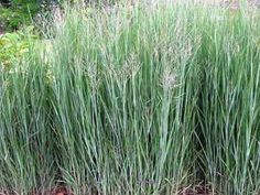 Panicum virgatum 'Heavy Metal' -Switch grass.  This cultivar of the native switch grass is tried and true.  They break dormancy in May, reaching around 5' by summer's end.  The upright, blue/green blades are topped with airy flowers from August until frost.