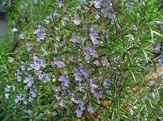 ∆ Rosemary...The brain is particularly susceptible to the effects of oxidative stress, as demonstrated by the condition's role in diseases such as Parkinson's disease and Alzheimer's disease. Studies have shown that the antioxidants in rosemary, such as the carnosic and rosmarinic acids, are highly effective in combating this problem.