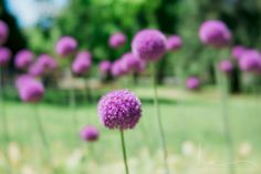 garden photograph boston public garden purple allium photo round tall lollipop-like flowers dreamy romantic nursery large wall art decor velvet56